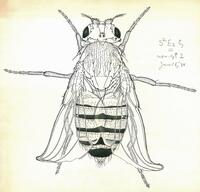 Fruit fly drawing, full fly (Drosophila melanogaster)